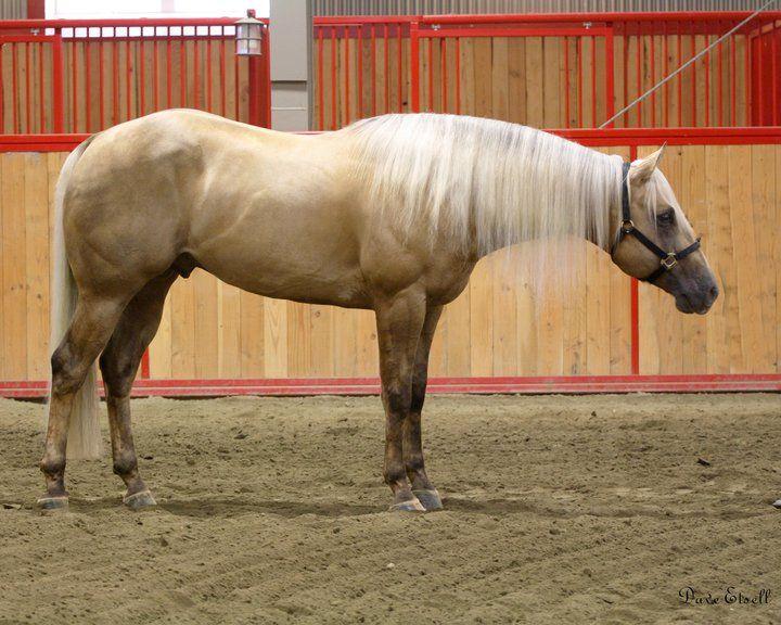 Quarter Horse stallion Wimpys Little Cee