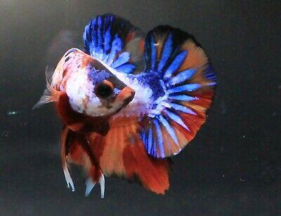 Details About Thai Betta Live Fight Fish Candy Koi Aqua Pet Home Office Garden Plakat Breeder In 2020 Betta Pet Home Fish Candy