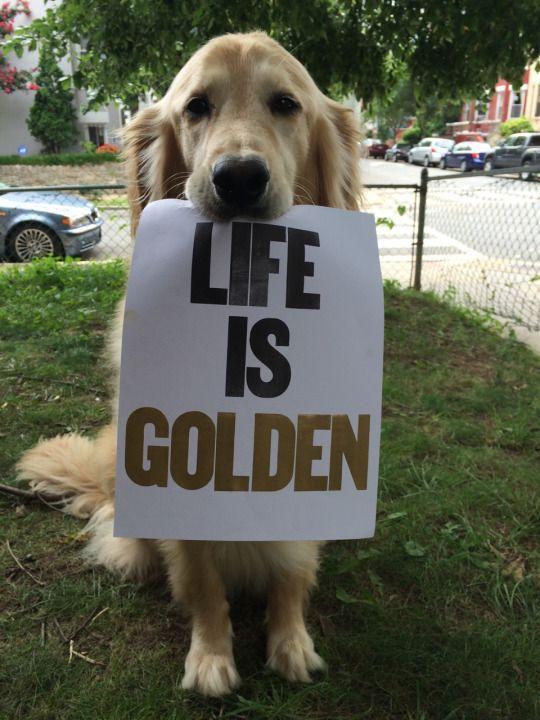Life Is Golden In 2020 Dogs Golden Retriever Golden Retriever Retriever Puppy