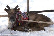 Los renos de Papá Noel en Laponia obteniendo nuevos cuernos después de perderlos justo pasada la Navidad