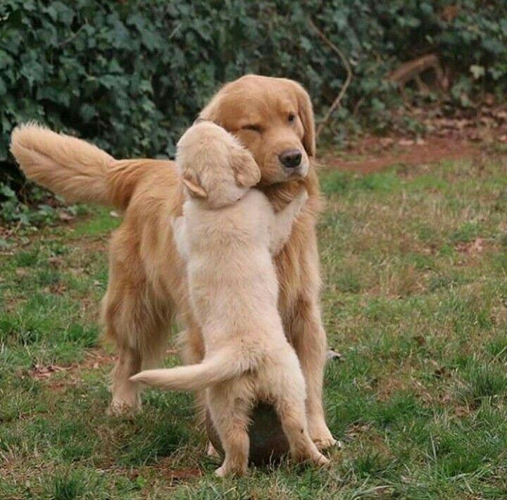Golden Retriever Family Golden Retrievers Cute Dogs Cute