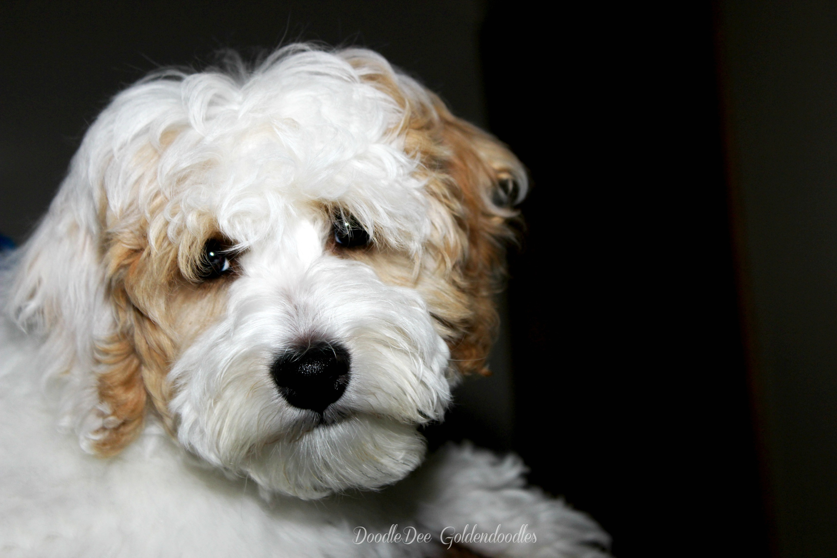 MicroMini Goldendoodles & Petite Goldendoodles  We breed for