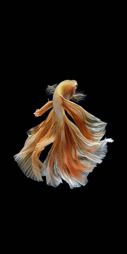 Fish By Visarute Angkatavanich Beautiful Fish Betta Fish Siamese Fighting Fish Betta fish wallpaper gif cat with