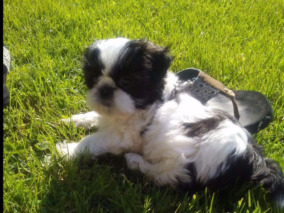 Helen Peterson Has Shih Tzu Puppies For Sale In Smithton Pa On