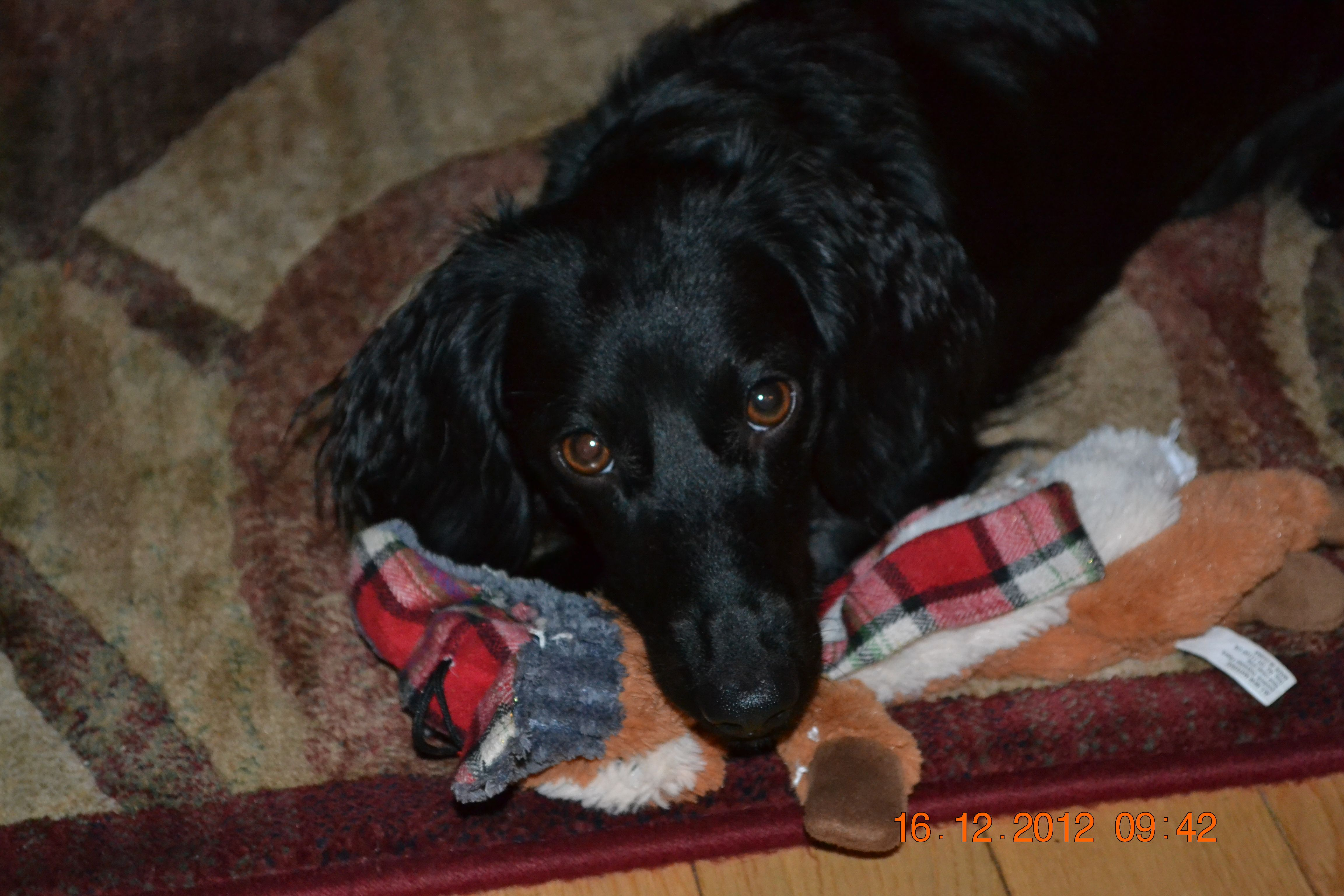 1 Year Old Black Long Haired Dachshund Very Rare Have You Ever