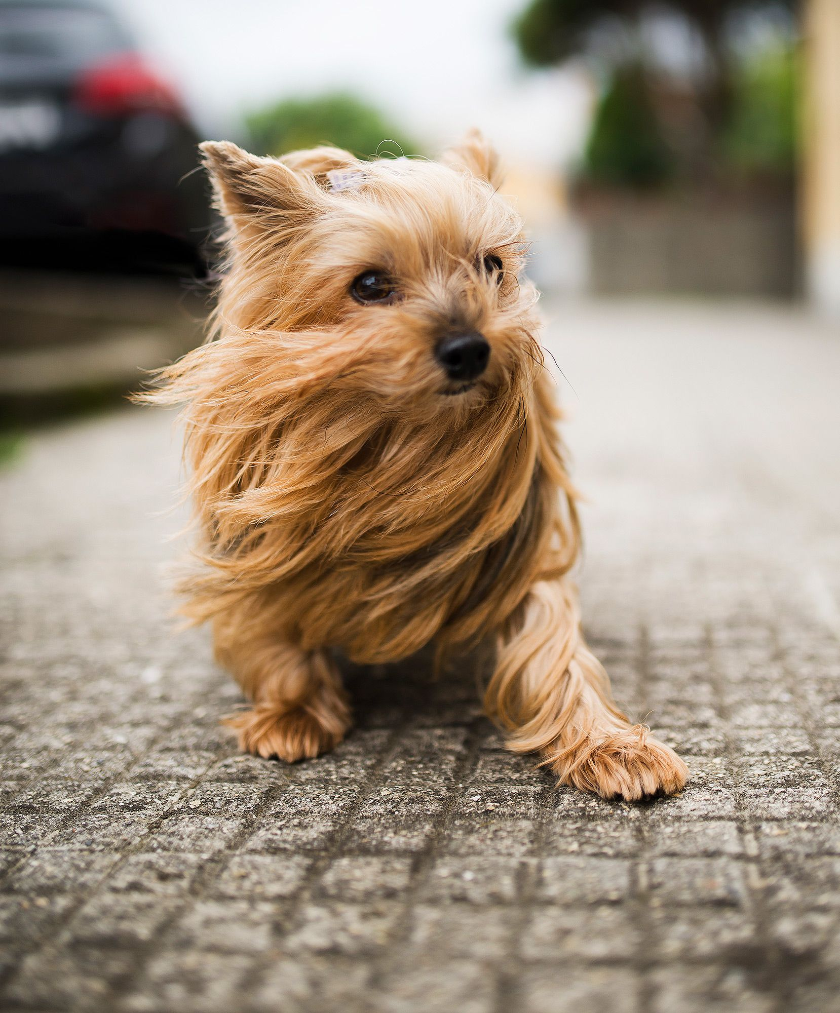 Hold On To Your Pooch Cleveland Issues Small Dog Warning Due To 50 Mph Winds Yorkshire Terrier Puppies Yorkie Terrier Yorkshire Terrier