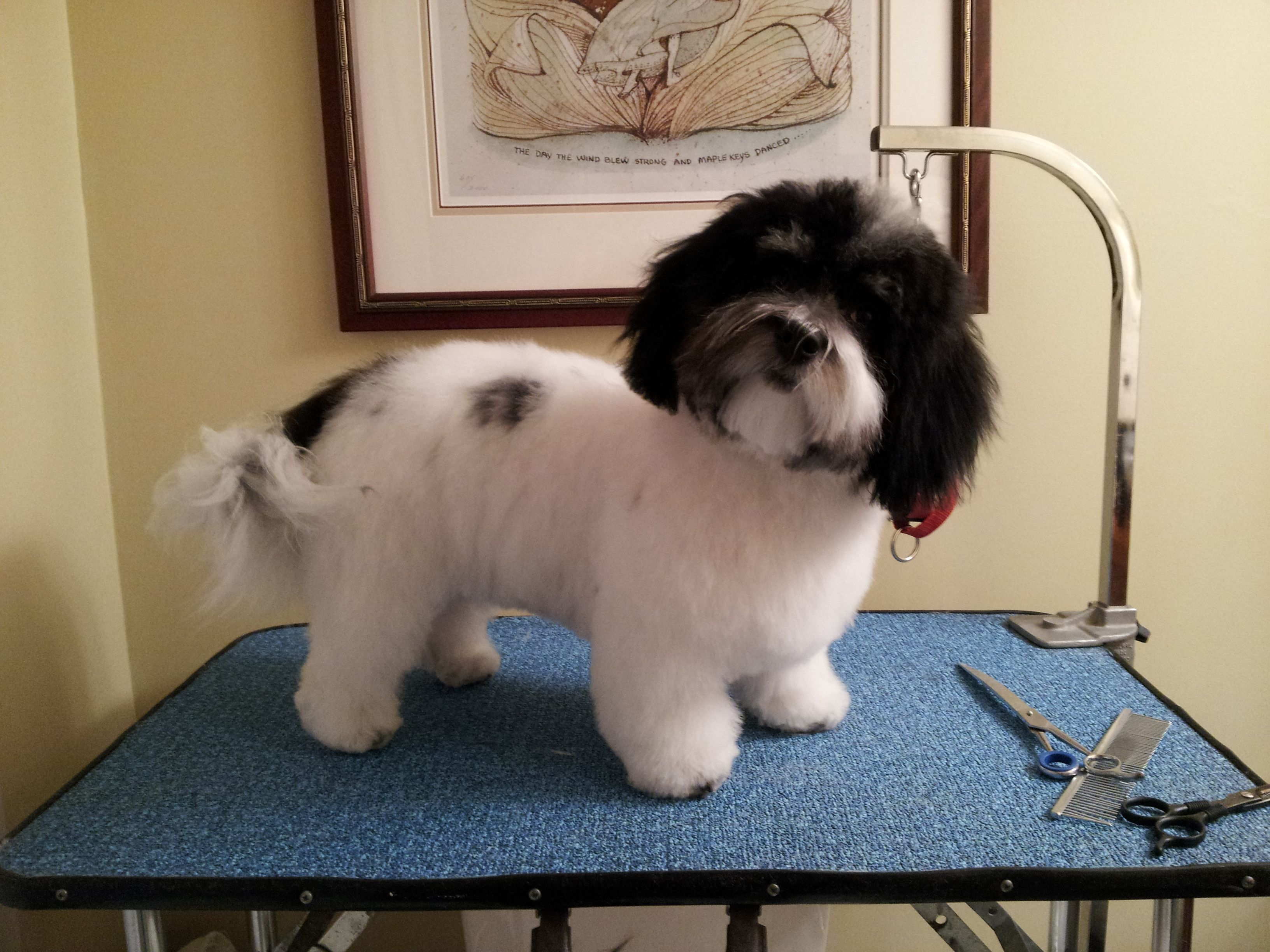 Patches, Havanese puppy, in teddy bear trim  | Havanese | Havanese