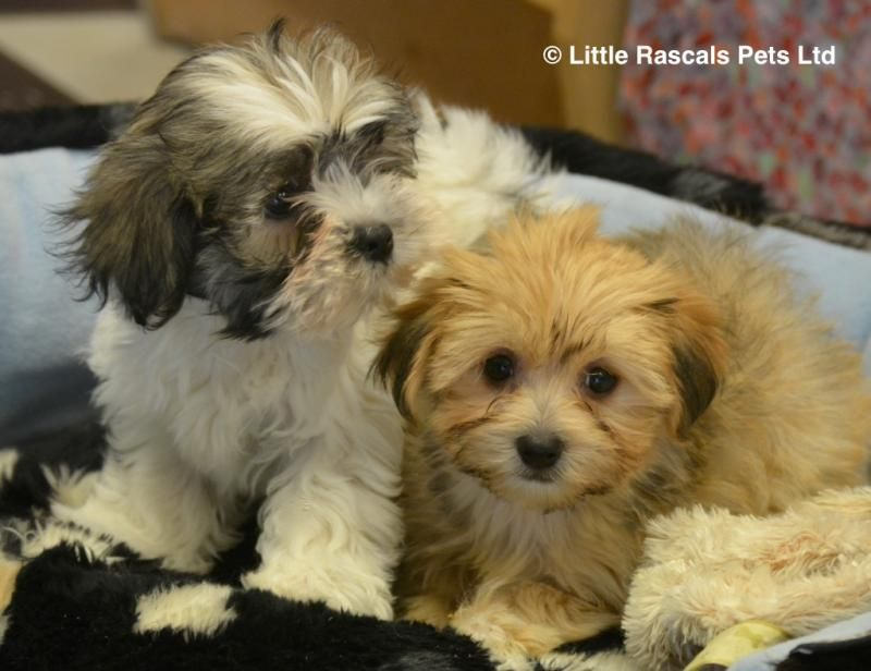 Morkie Maltese X Yorkshire Terrier Puppies Designer And Cross