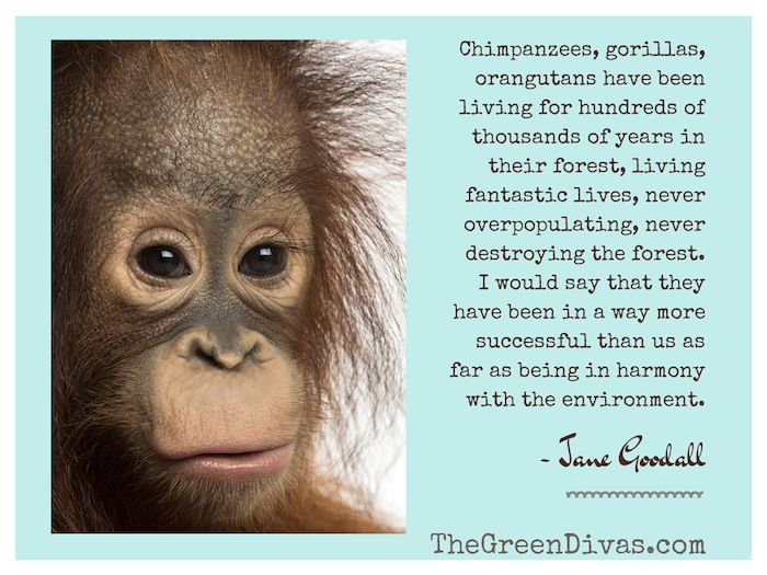 Orangutans They Re 97 Like Us Video With Images Orangutan
