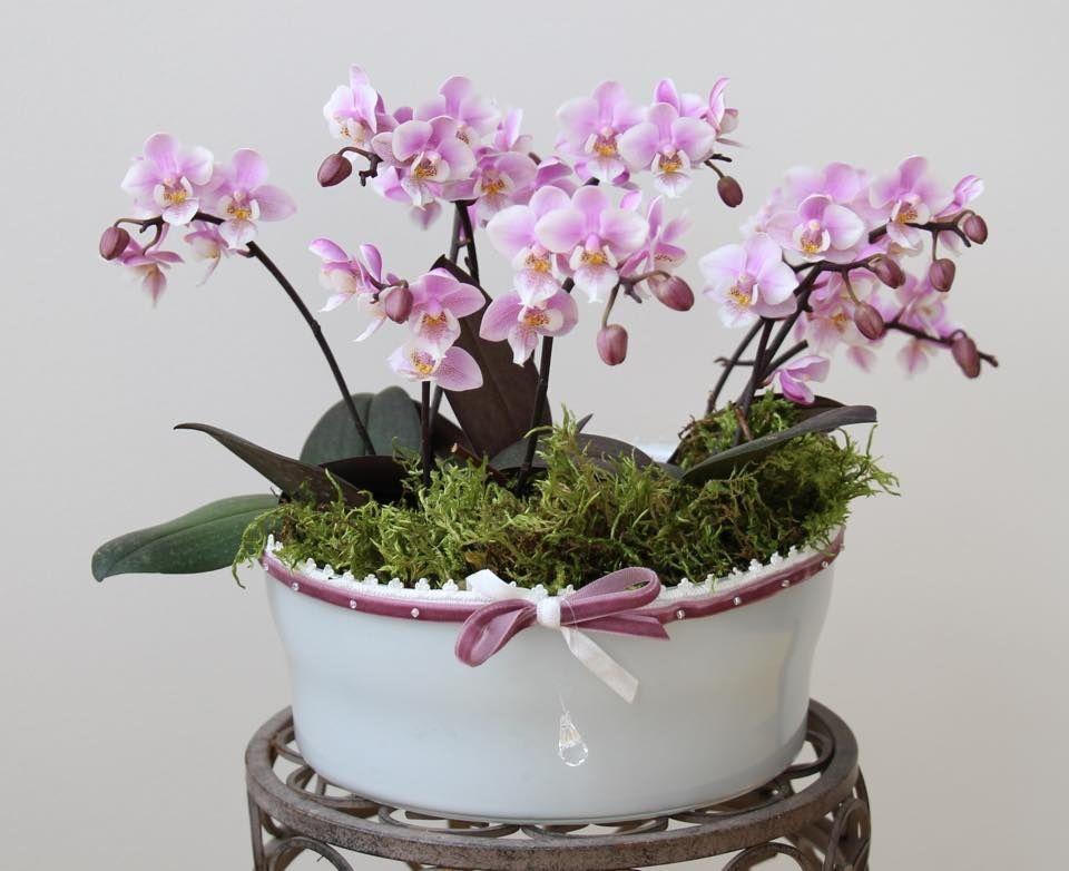 Mini Phalaenopsis Little Lady Rośliny W Domu Pinterest