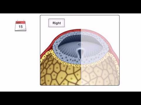 General Embryology - Detailed Animation On Gastrulation - YouTube ...