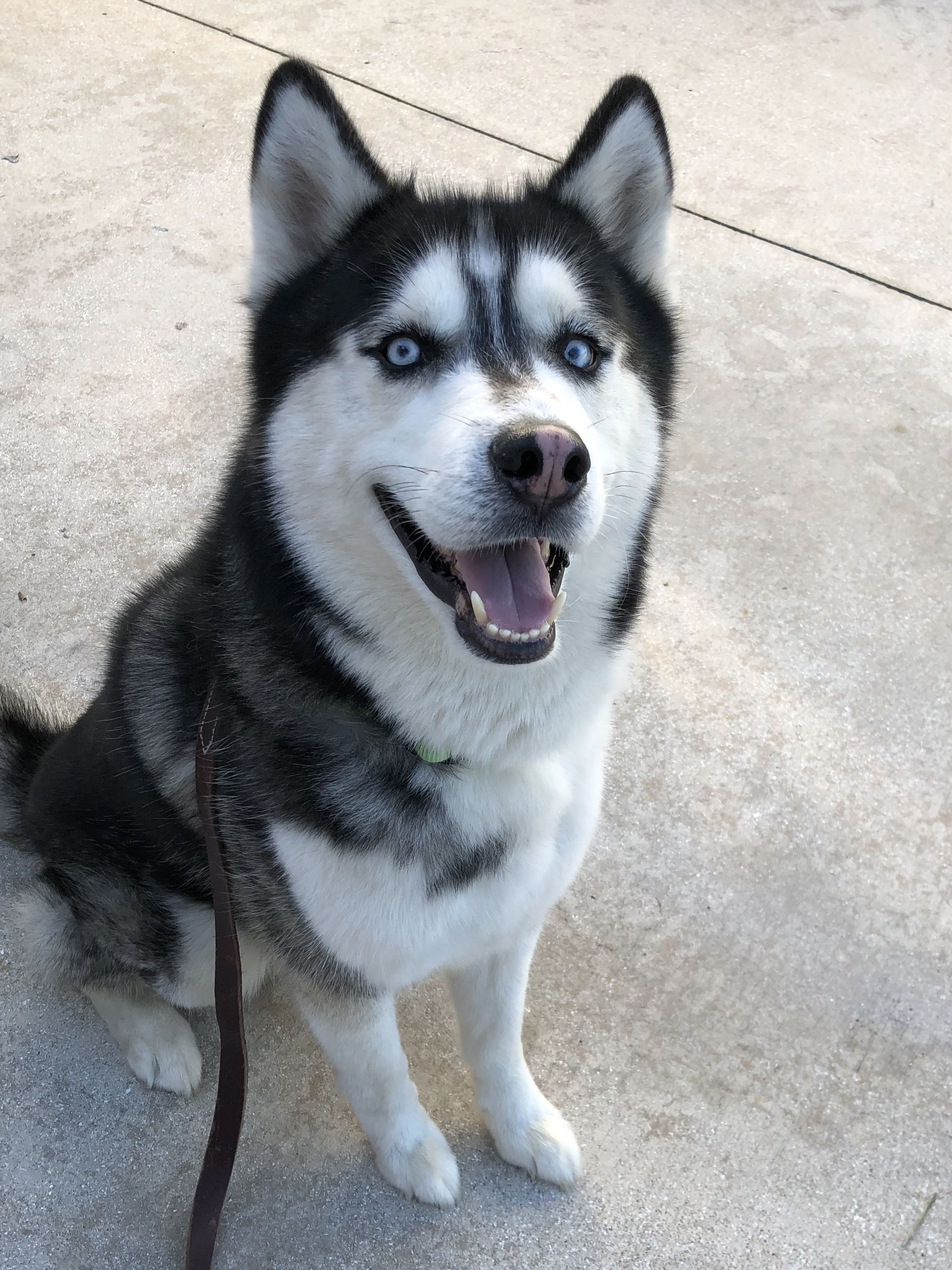 Siberian Husky Dog For Adoption In Royal Palm Beach Fl Adn