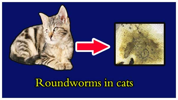 Roundworms And Flatworms These Internal Parasites Dangerous To Cats Roundworm Intestinal Parasites Cat Worms