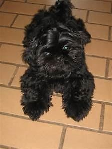 All Black Shih Tzu Girl 1 Year Old Lovable Furry Friends