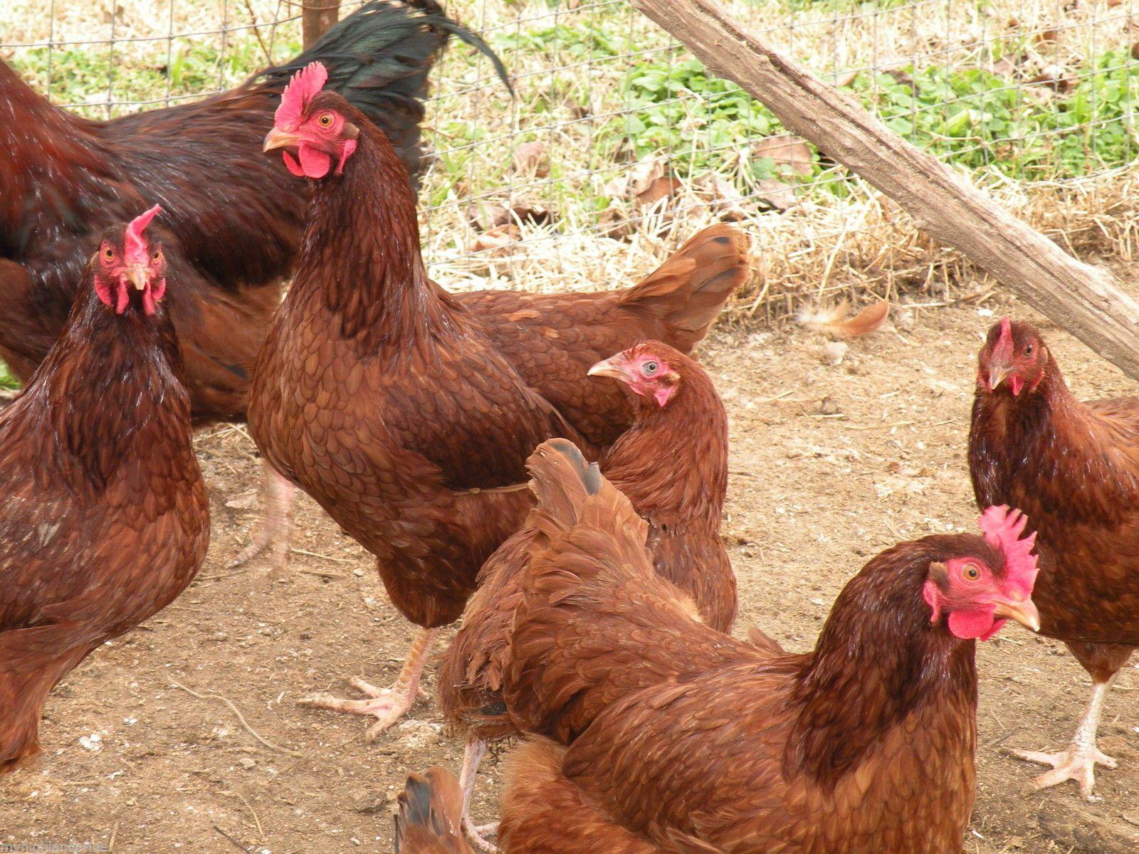 12 Rhode Island Red Chicken Hatching Eggs | Chickens ...