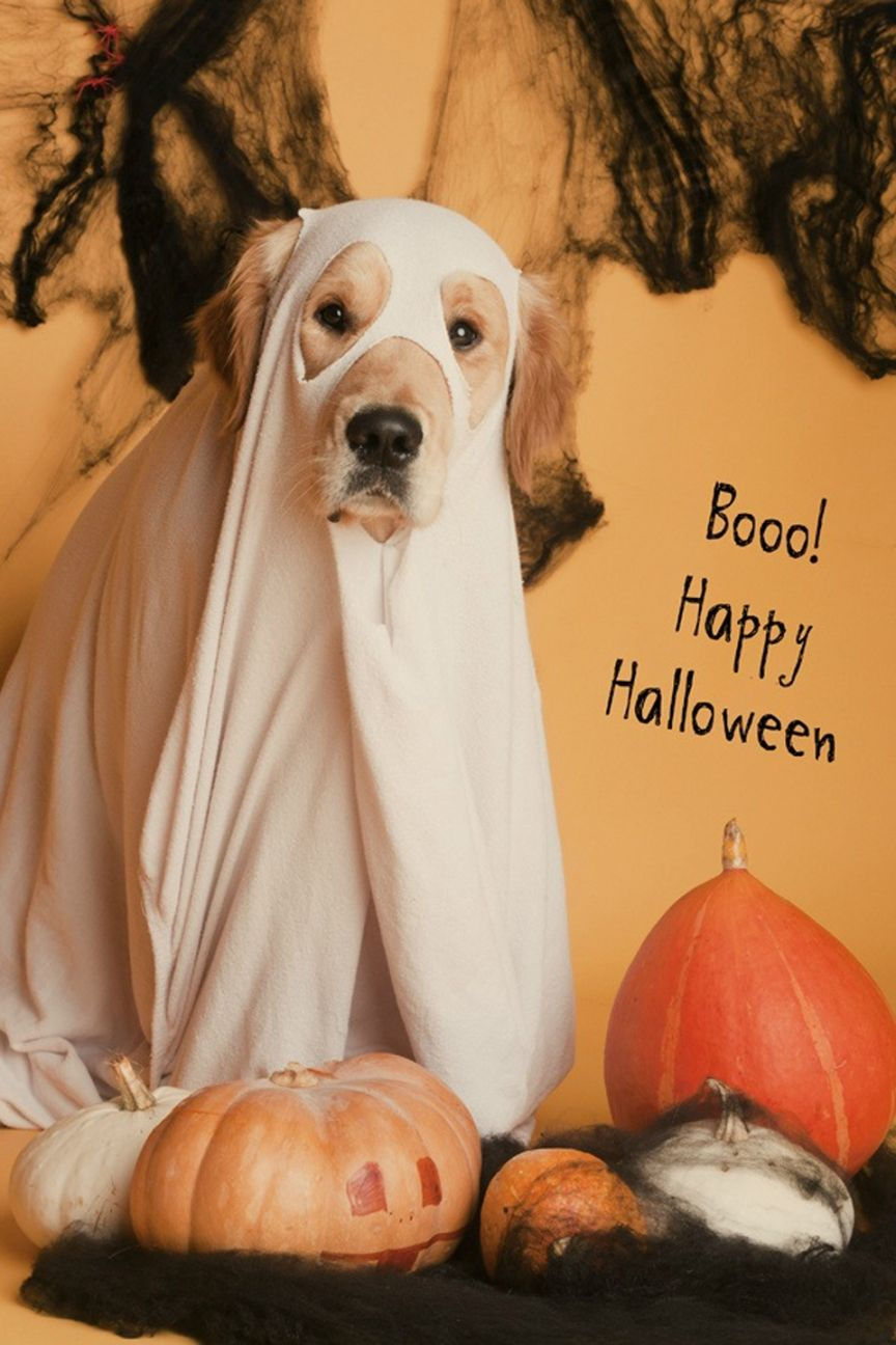 boo! funny dog dressed like a ghost for the halloween. | golden