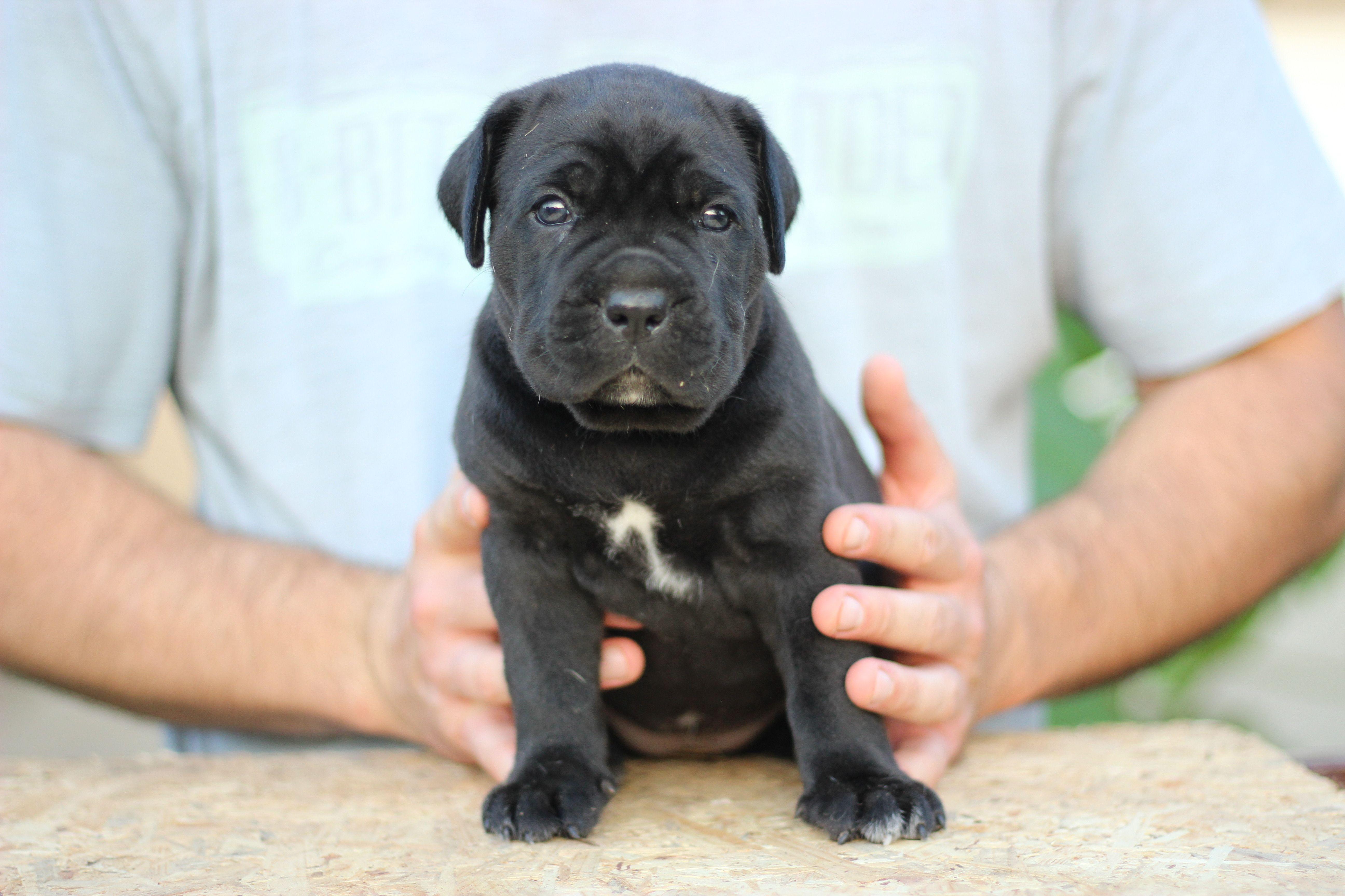 Cane Corso Europe Cane Corso Puppies Cane Corso Cane Corso Dog