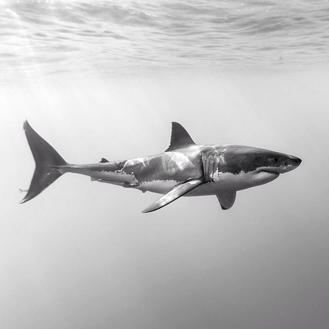 Great White | Insects, Birds, Reptiles & Water Creatures Anatomy ...