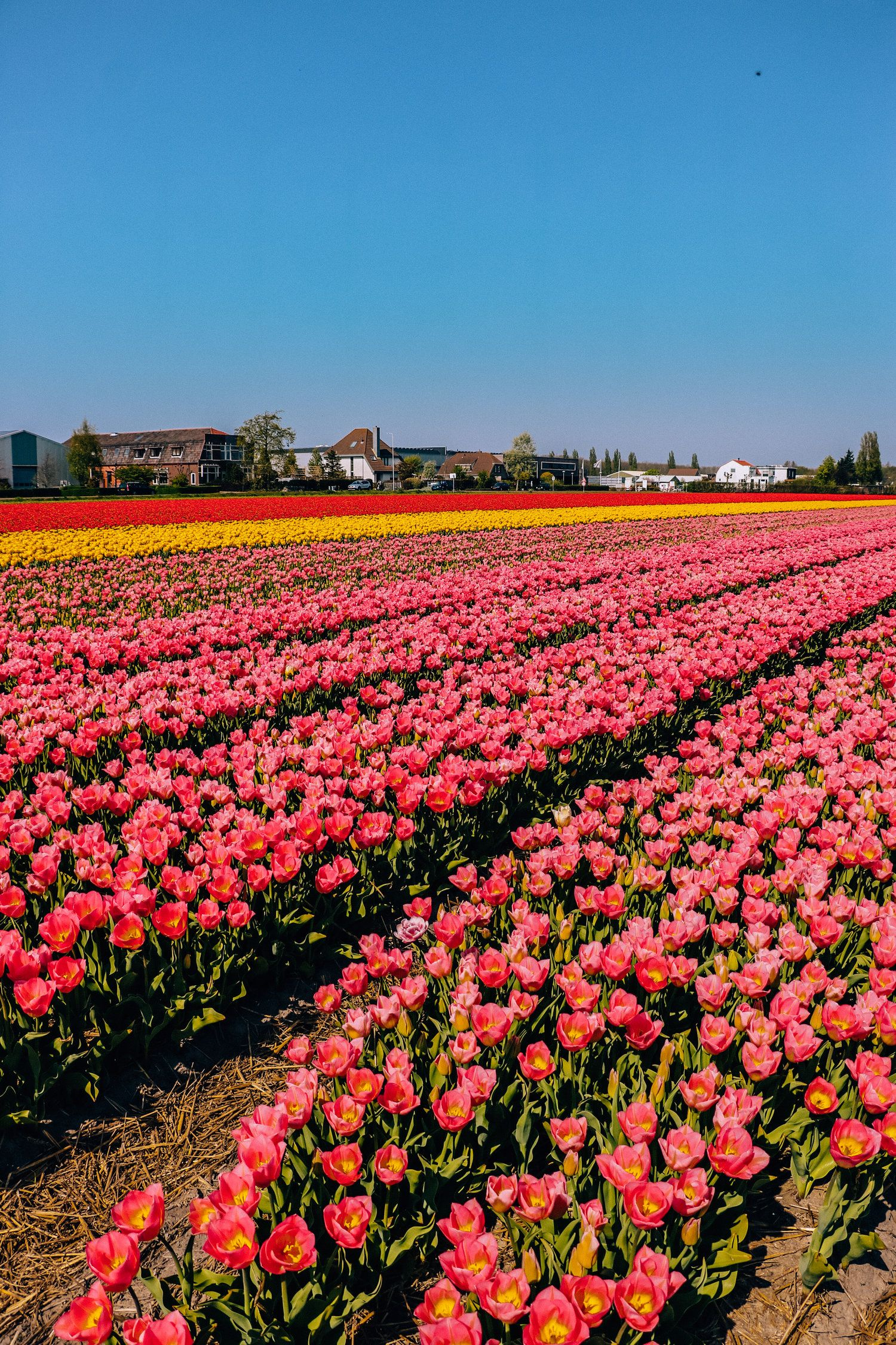 A Guide To Seeing The Tulips In Lisse On A Budget In 2020