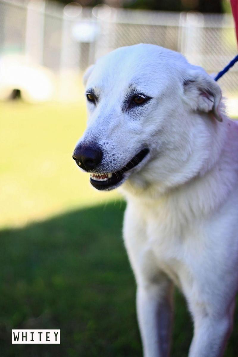 Adopt whitie on adoption pets labrador retriever