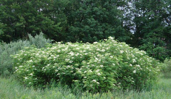 wild bush plant - Google Search