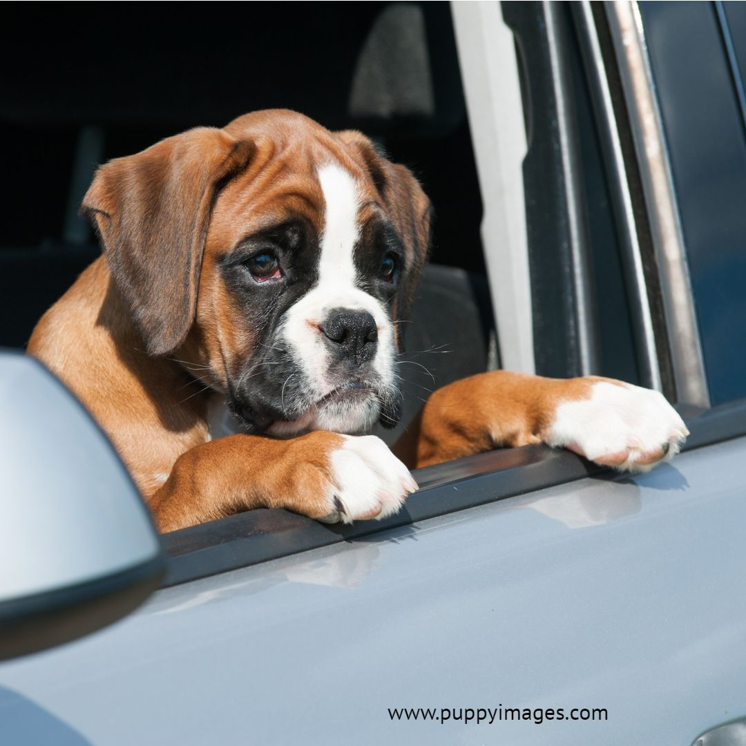Boxer Puppy Looking Out The Car Window Boxer Puppy Puppy Dog Images Puppies