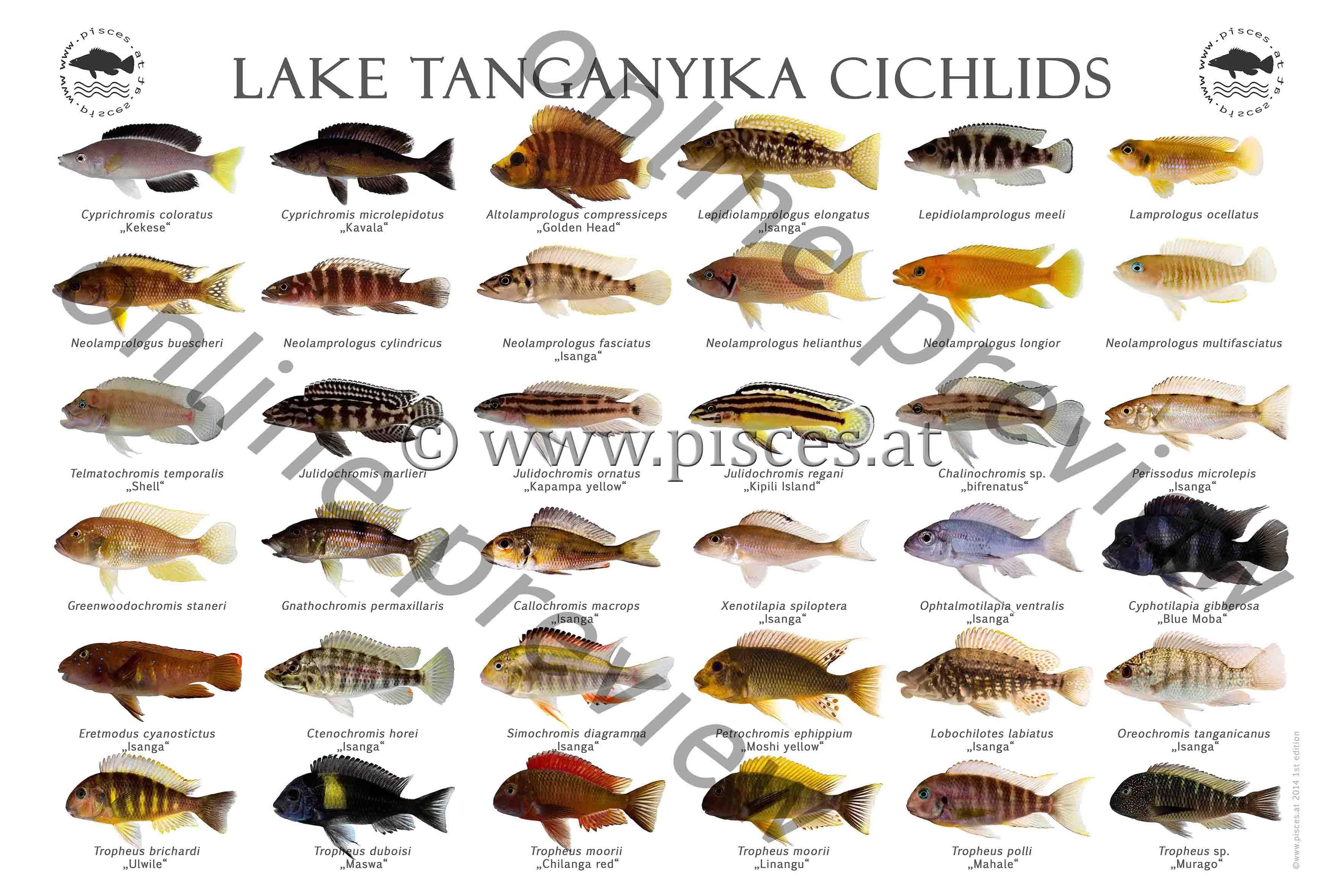 Lake Tanganyika Cichlids Jpg 3543 2362 Cichlids Lake Tanganyika Aquarium Fish