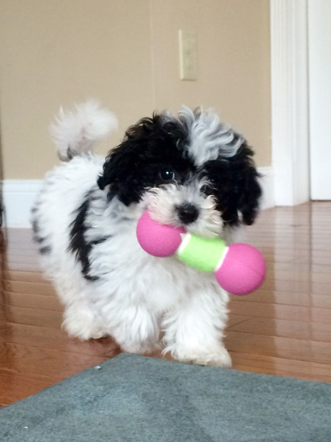 Black And White Cavachon Puppy 12weeks With Images Cavachon