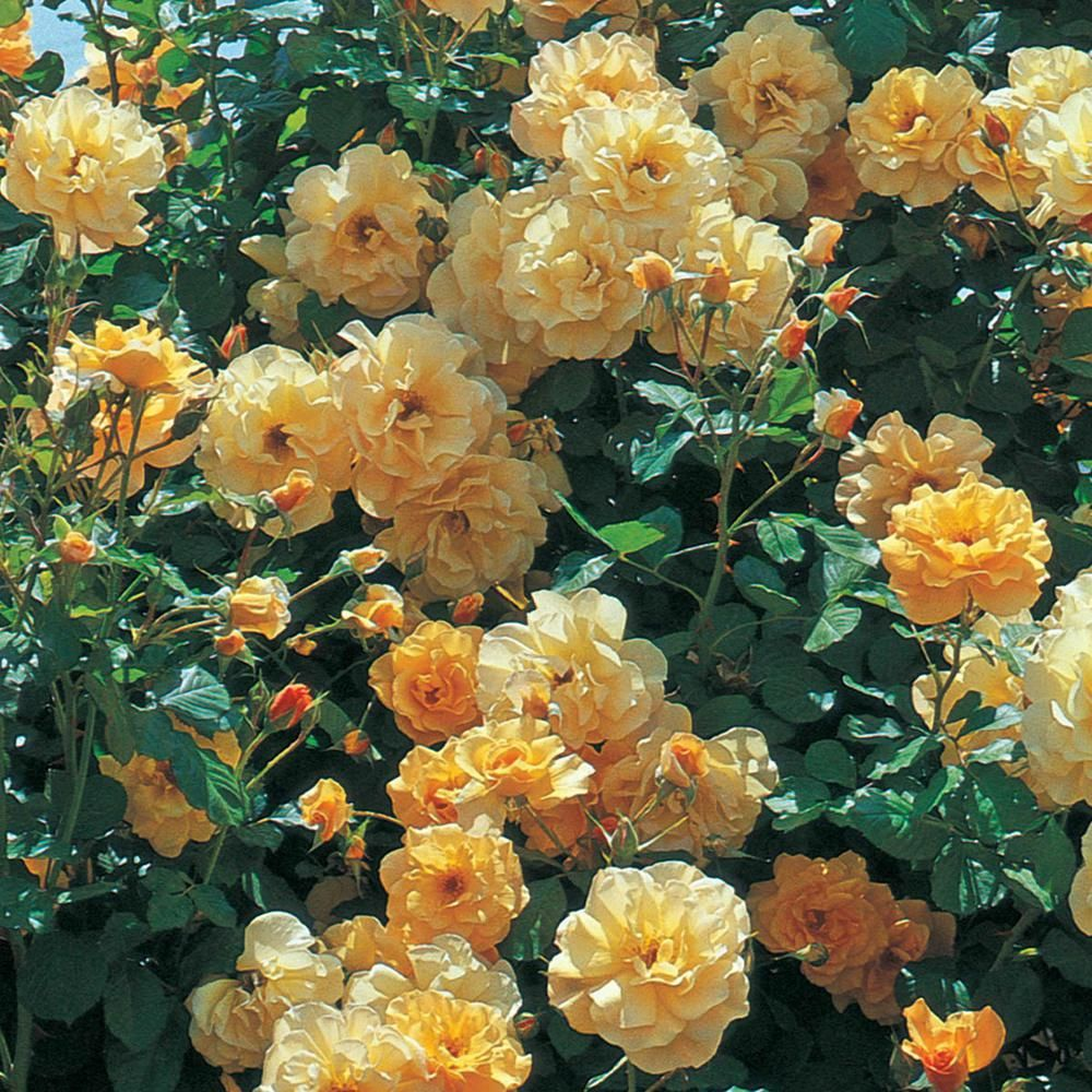 Spring Hill Nurseries Autumn Sunset Climbing Rose Live Bareroot Plant Apricot Color Flowers 1 Pack Climbing Roses Spring Hill Nursery Hybrid Tea Roses