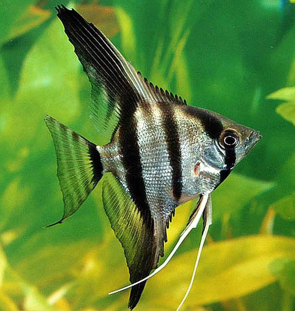Scientific Name Pterophyllum Scalare Higher Classification Angelfishes Akvariumnaya Rybka Zhivotnye Ryba