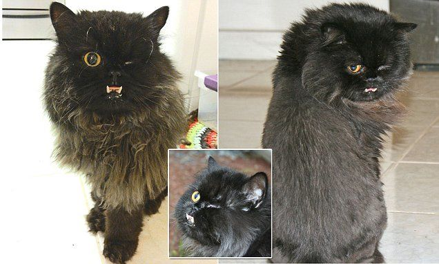 The vampire cat Kitten called Fang with huge teeth and