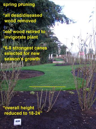Pruning Objectives Improve Air Circulation Deadhead For Rebloom Shape Maintenance Remove Old Canes Crossing Stems Weak Wo Pruning Roses Spring Roses Prune