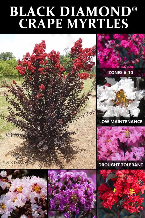 Buy Black Diamond Crape Myrtle Trees At Nature Hills Nursery And Get Them Shipped Directly To Your Door C Crape Myrtle Crepe Myrtle Landscaping Myrtle Tree