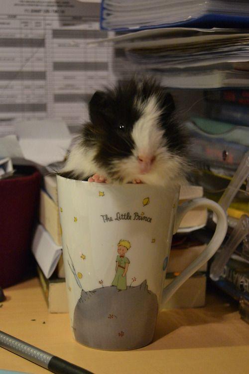little guinea pig prince