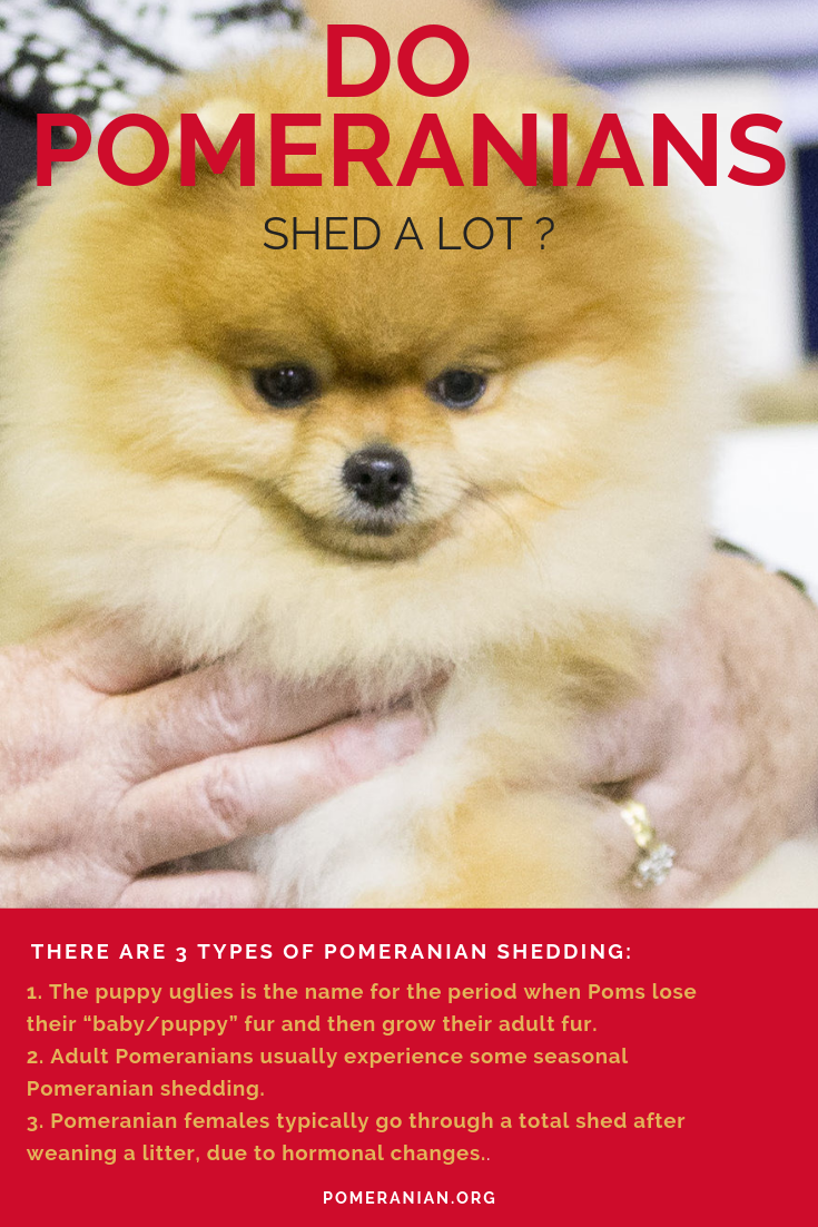 Do Pomeranians Shed In 2020 Pomeranian Pomeranian Dog Dog Spray