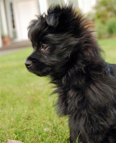 Penelope The Pomeranian Yorkshire Terrier Mix Chihuahua Food Chihuahua Terrier Mix Yorkie Chihuahua Mix Puppies Chihu Yorkie Mix Yorkshire Terrier Yorkie