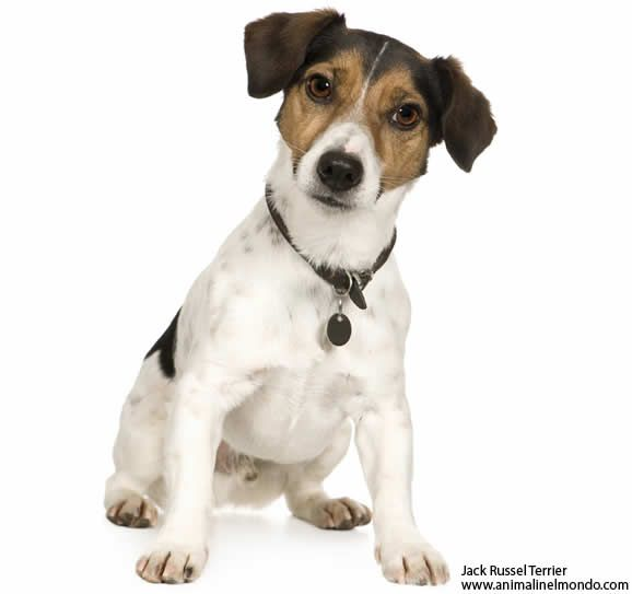 Jack Russell Dog   Google Search