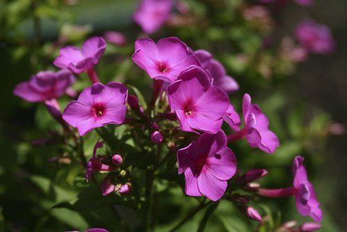Fiche Plante Impatiens Ou Impatience Fleurs Pinterest