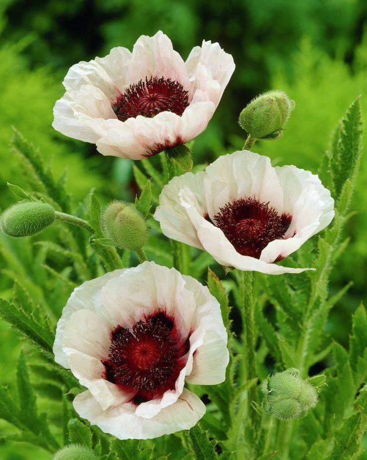 Pin Von Elli Pirelli Auf Blumen Mohnblumen Poppys Exotische Blumen Schone Blumen Knollenpflanzen