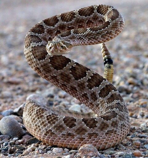 Yosemite, Tuolumne River, My Mother Lode, Snake, rattlesnake in Yosemite National Park, Snake Emergency, Rattlesnakes Bite
