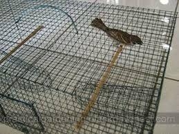 Resultado de imagem para trap bird