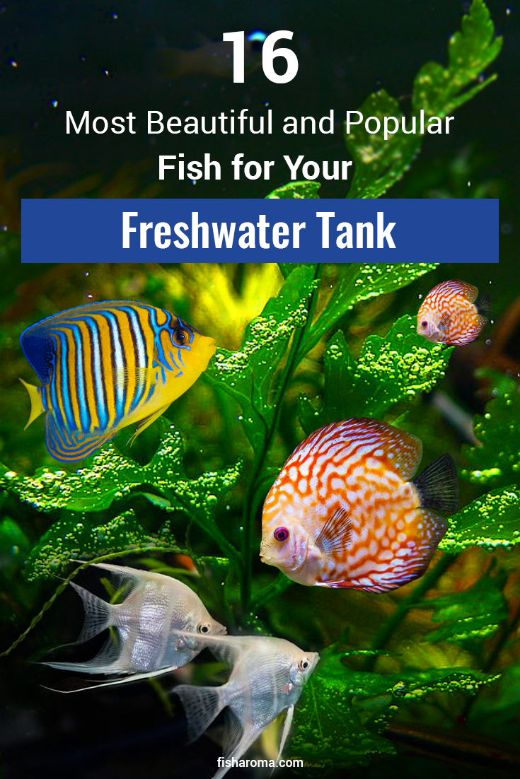16 Most Beautiful And Popular Fish For Your Freshwater Tank In 2020 Best Aquarium Fish Freshwater Aquarium Fish Freshwater Aquarium