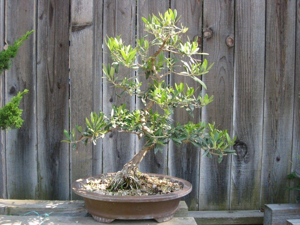how to care for olive bonsai Olive tree bonsai, Bonsai