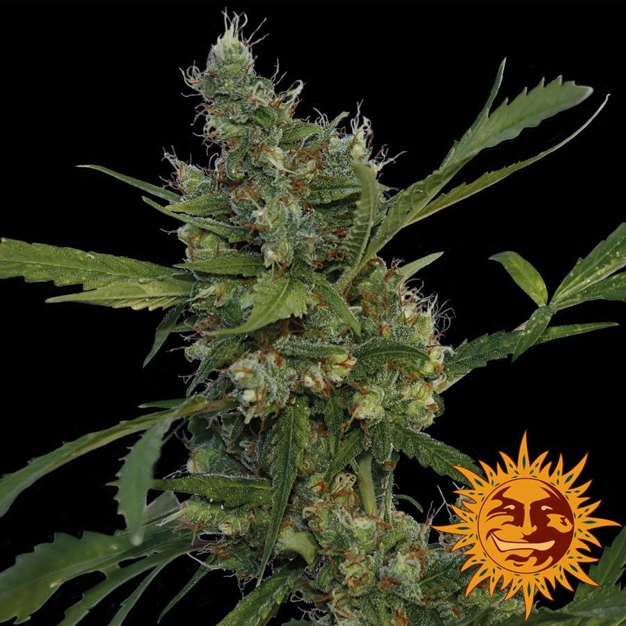 Morning Glory is a three-way sativa-dominant (60%) hybrid marijuana strain. It was created from Afghan Indica, Hawaiian and Skunk #1 and blends citrus flavours with the Afghani Kush effect while retaining the cerebral high of the Skunk.