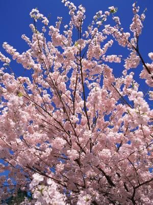 White Or Pink Tree Flowers That Bloom In Spring Fruit Trees Pink Trees Large Flower Pots