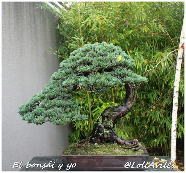 30 Aniversario de la Colección y Escuela Bonsái de Luis Vallejo: sus árboles - El bonsái y yo