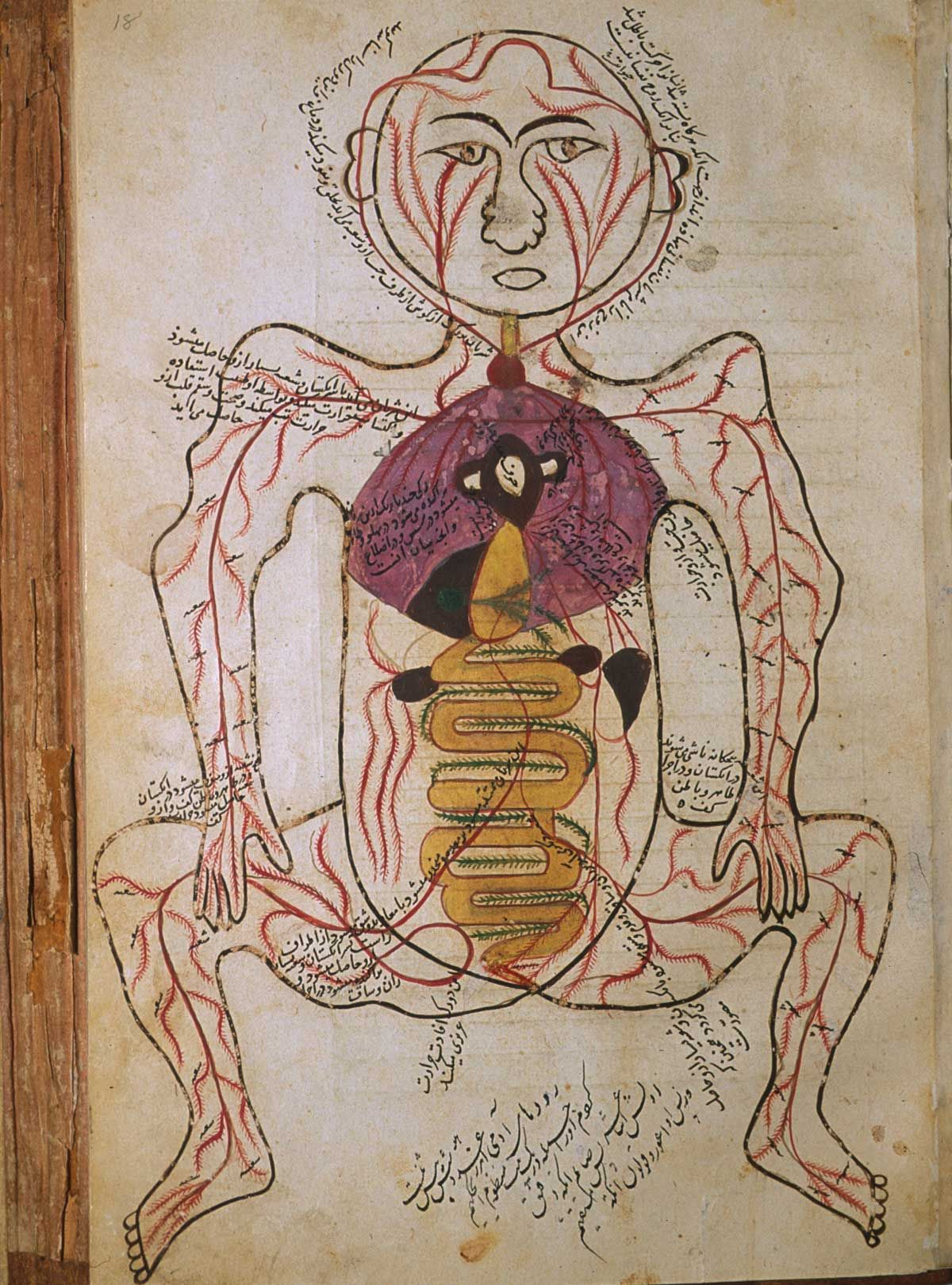 by Mansur ibn Ilyas, from Tashrih-i badan-i insan [Anatomy of the Human Body], Iran, ca. 1390