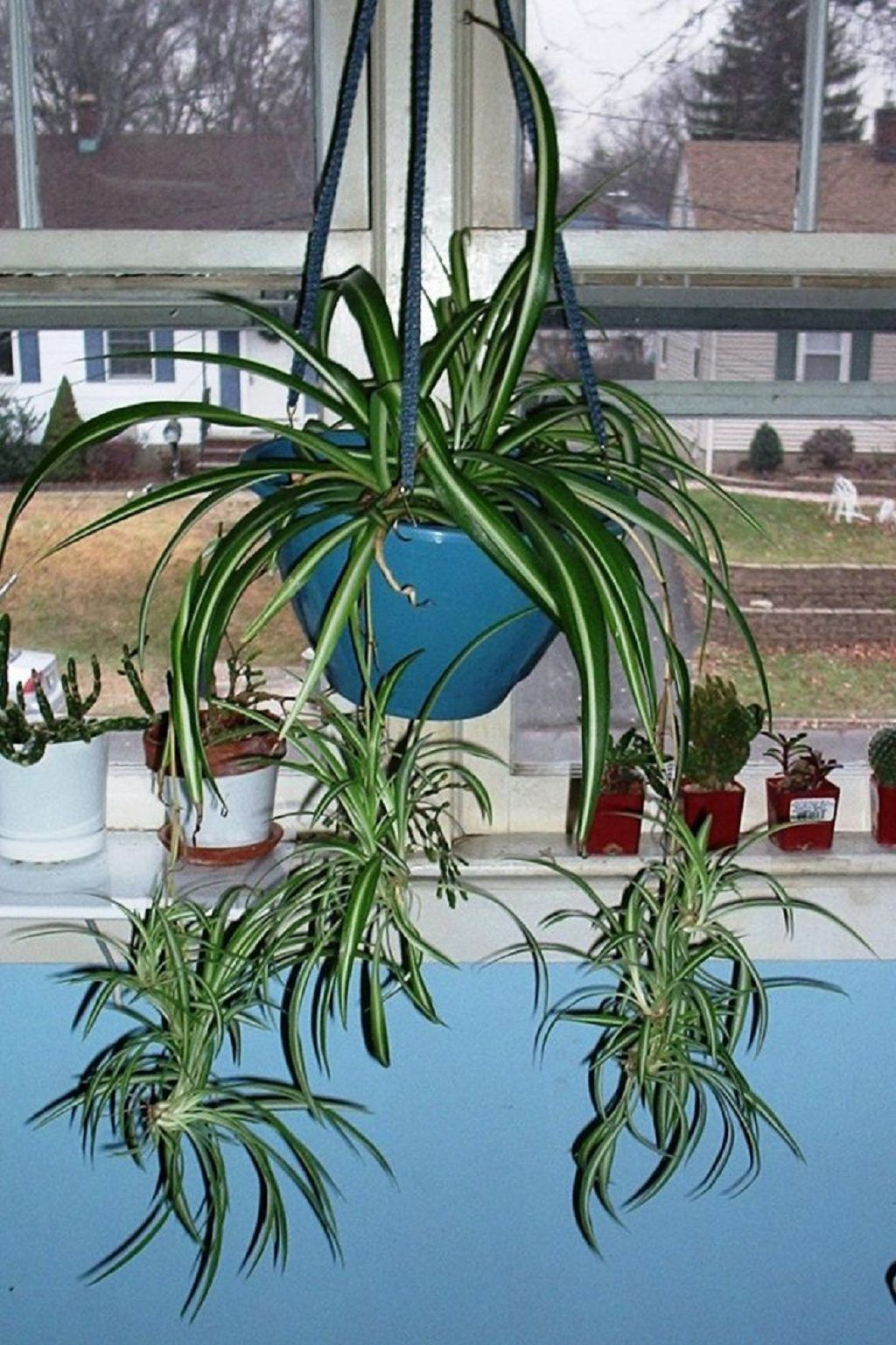Spider plant. bedroom plant. relaxing indoor plant. air ...