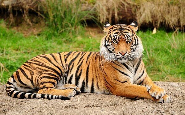 Que Comen Los Tigres2 Tigre De Vengala Tigre De Bengala Donde Viven Los Tigres