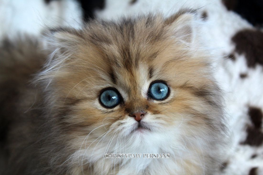 Reputable Missouri Persian Cat Breeder Christypaw Persians Persian Kittens For Sale Persian Kittens Persian Cat Breeders
